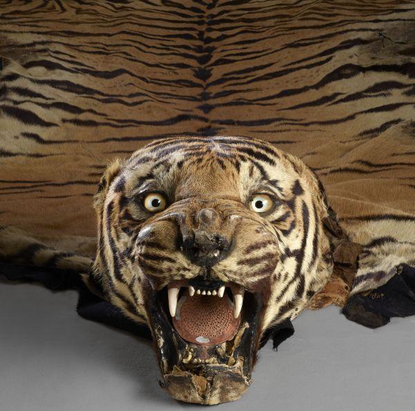 Tigerfell mit ausgestopftem Kopf, die Augen sind aufgerissen, das Maul geöffnet.
